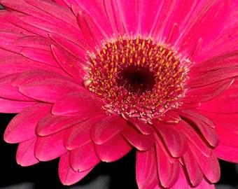 Pink Gerber Daisy Macro