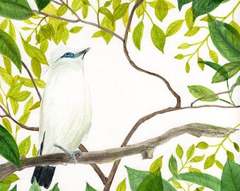 Bali Starling Endangered Bird  Illustration Print