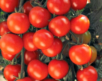 Large Organic Red Cherry Tomato-NON-GMO Vegetable SeedsDeep Scarlet Flavorful Fruit-High Yielding-Indeterminate