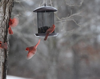 Cardinals in the Snow Nature photograph