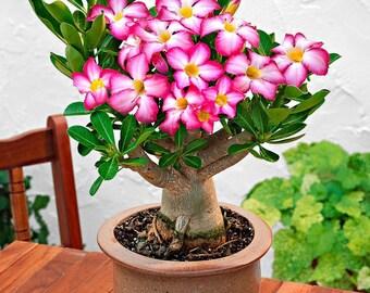 Adenium obesum - Desert Rose Plant - 'Anouk'