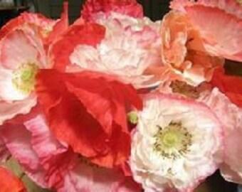 Shirley Poppy - Double Mixed (Perennial)