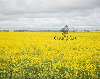 Canola field 4