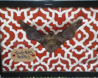 Framed lesser bamboo bat dried taxidermy mount