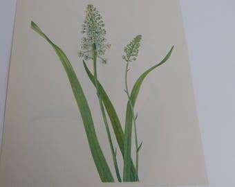 Vintage Botanical Print- 8x10