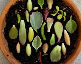 10 assorted succulent leaves for propagation