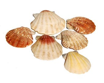 6 Scallop Shells (Number 8)