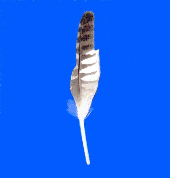 Reserved for Marie - Long Striped Bird Feather - Found Object - Collectible - Crafts - Home Decor