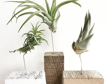 The Reclaimed Barnwood Plant Stand with Air Plant - Airplant - Airplants - Air Plants - Epiphyte - Plant - Modern - Home - Beach