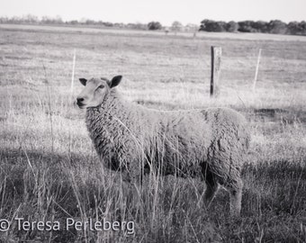 Sheep Photography - Farm Animal Photography - Nature Photography - Animal Photography - French Country Decor - Farmhouse Decor - Animals