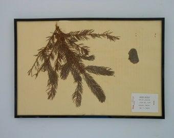 Vintage 1968 botanical specimen by Maine arborist - White Spruce