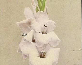 Stunning Vintage Botanical Postcard Pale Pink Marechal Foch Gladiolus – August Birth Flower 1944