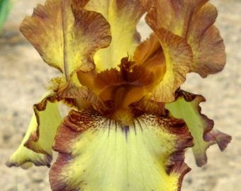 "Bearded Iris ""Roundup"""