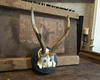 WONDERFUL old Roe Deer Antlers Straight out of BAVARIA Germany ANTIQUE Taxidermy