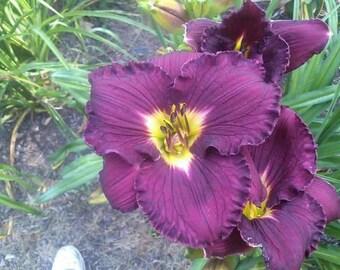 Hemerocallis 'Bela Lugosi'  Daylily Bela Lugosi, live plant, purple daylily