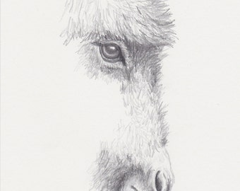 Donkey Pencil Drawing, Original Miniature Donkey Art 5x7, Burro Graphite