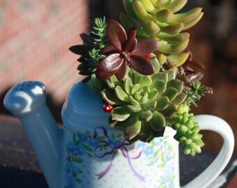 Teacup - Charming Succulent Garden w/Echeveria, Crassula, Sedum Plants in Vintage Limoges Teacup Planter
