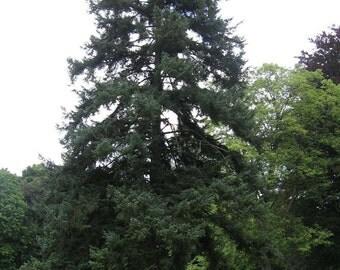 Jezo Spruce Tree Seeds, Picea jezonensis - 25 Seeds