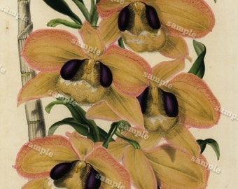 Dendrobium pulchellum 1852  Hand colored  Botanical  Hand Colored  Flora Lithograph Original art wall art decorative art