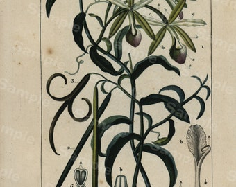 original Antique Hand colored Botanical Engraving from P.J.F TURPIN 1816 First Edition Vanilla Plant