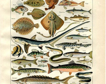 "Ocean , Sea  Life , Fishes - Antique French Lithography 1898's - Zoological Print -  7.8"" x 11.4"" - A9"