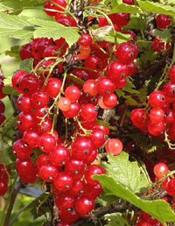 Cherry Red Currant, Large, Dark Red Fruit For Jams And ...