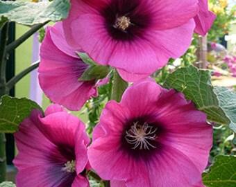 PBHH) HALO-CERISE Hollyhock~Seeds!!!!~~~~~Radiant Plum Colors!