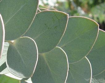 TSE) SILVER GUM Eucalyptus~Seed!!~~~~~Unique!
