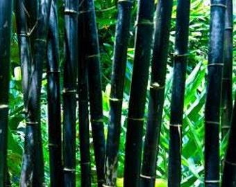 TSB) BLACK BAMBOO~Seeds!!~~~~~~Elegant Gardening!!!