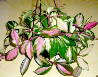 Hoya Carnosa Tri Color - Unique Tropical Flowering Wax House Plant