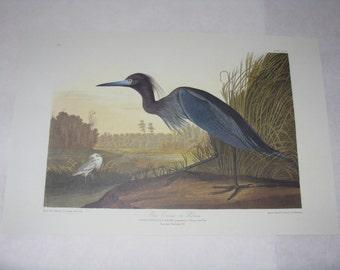 Audubon print unframed bird Blue Crane or Heron reproduction