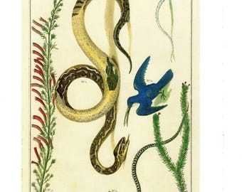 "50% Off Estate Sale Antique Nature Art, Vintage Re print Albertus Seba 18th Century, Snakes & Birds, Botany Illustration, 13.25"" x 9.5"""