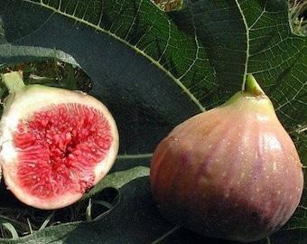 COCONUT STRAWBERRY FIG  Ficus Auriculata - 5 seeds