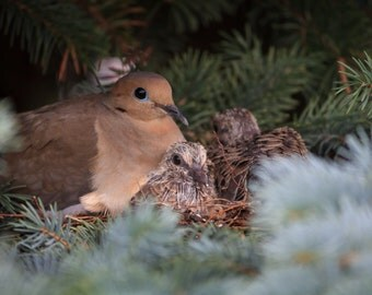 Dove chicks prints, Dove art, bird prints, nature, photography, Dove, wildlife, bird, Mourning dove, prints, Dove cards, art