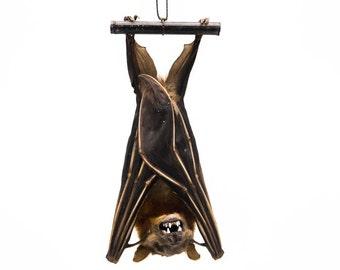 Hanging Lesser Short-Nosed Fruit Bat : Cynopterus brachyotis (1235-10)