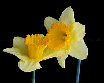 Two Yellow Daffodil, flower photography, spring still life, Narcissus print, romantic wall decor, fineart print, love home decor