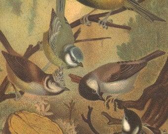 1898 Antique Bird Print Titmice Color Lithograph Ornithology