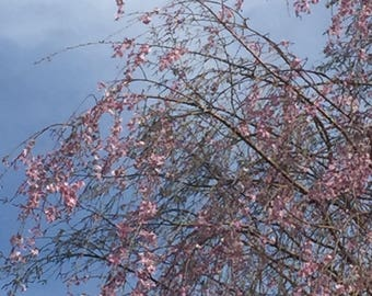Spring Flowers Pink Weeping Cherry Tree photography