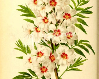 flowers-16213 - xanthoceras sorbifolia, Goldenhorn, Yellowhorn branch white color flower digital vintage illustration image picture book jpg
