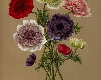flowers-16683 - Doubles Anemone, anemone coronaria, poppy anemone,Spanish marigold Mediterranian plant large size printable digital picture
