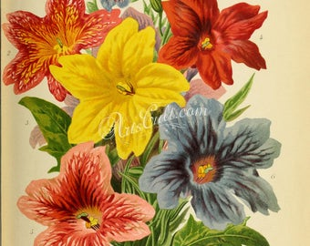 flowers-28274 - Salpiglossis bouquet yellow red purple blue pink color vintage image from ancient pre-1923 book page public domain paper jpg