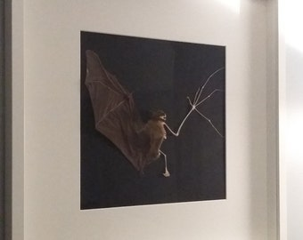 Taxidermy Bat, Framed Bat, Mummified Bat, Taxidermy, Bat, Curiosity, Oddity, Bats, Collectables, Gothic, Dead, Unique, Animal Mounts, Bats.