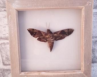 Framed Moth
