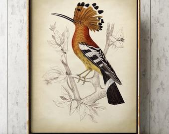 Bird print, Hoopoe print, hoopoe poster, hoopoe wall art, hoopoe illustration, bird scientific illustration