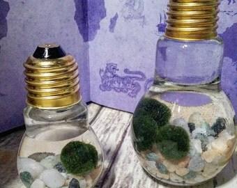Mini Moss Ball Aquarium/Terrarium-Large