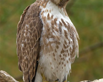 Perched Red Tail Hawk