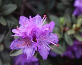 Nature Photograph, Wild purple flower, Instant Download, Fine Art Photography, Stock photo