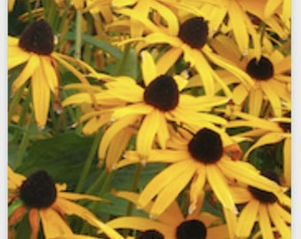 YELLOW DAISY POSTER (Black Eyed Susans)