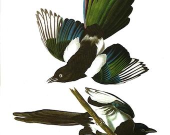 Vintage Bird Print Black-billed Magpie Audubon Art Illustration 1978 Home Decor Wall Art Home Living Collectible Nature Wildlife Art Print