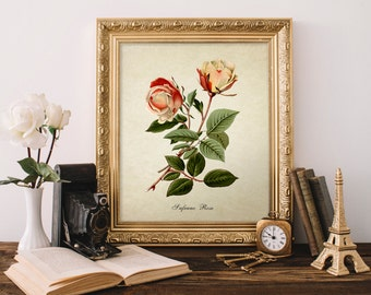 Vintage Botanical Print, Roses Print, Safrano Rose Botanical Print, Safrano Rose, Natural History, Old Roses Botanical Illustration Fl069